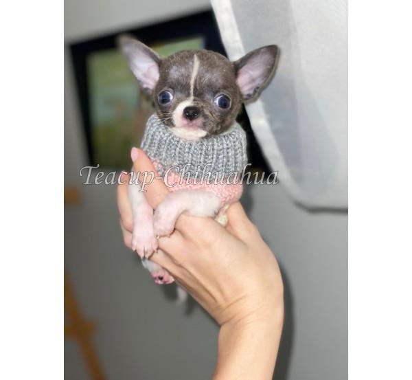 Mini chihuahua 15