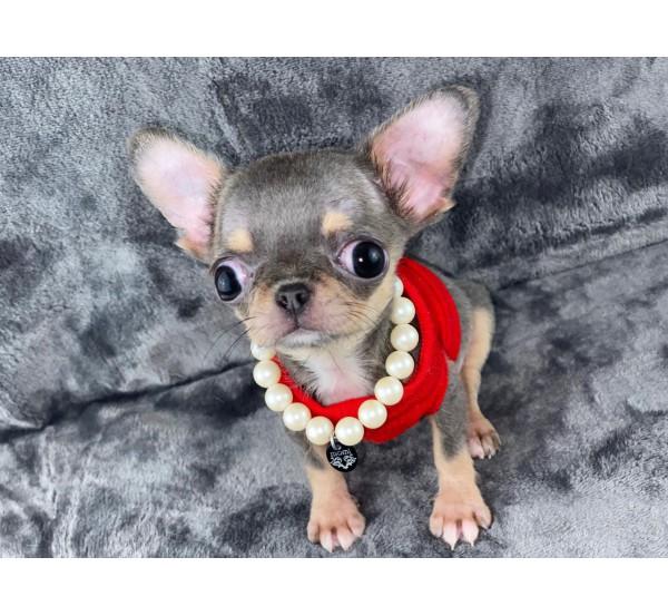 Mini Chihuahua 2