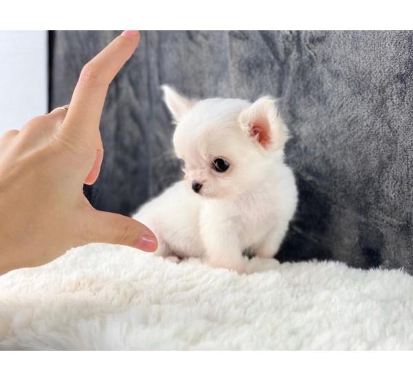 Mini Chihuahua 3