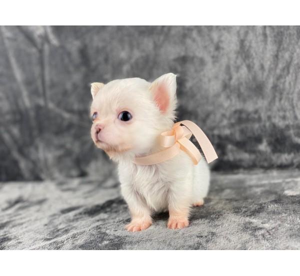 Mini Chihuahua 4