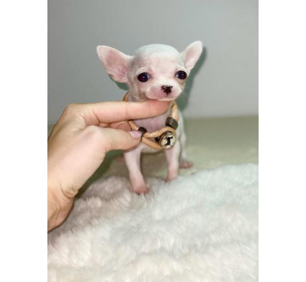 Mini Chihuahua 5