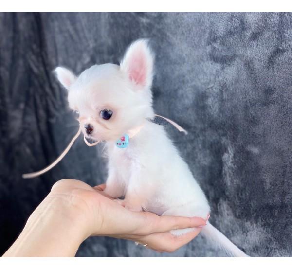 Mini Chihuahua 6