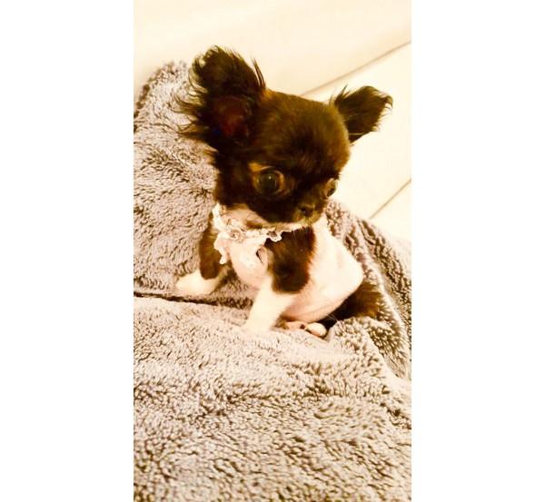 Mini Chihuahua 7