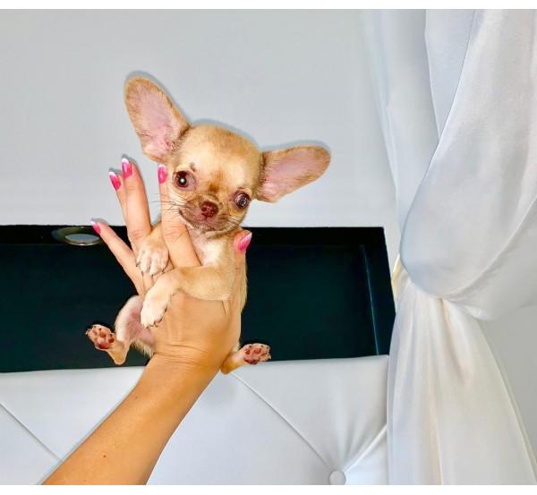 Mini Chihuahua 8