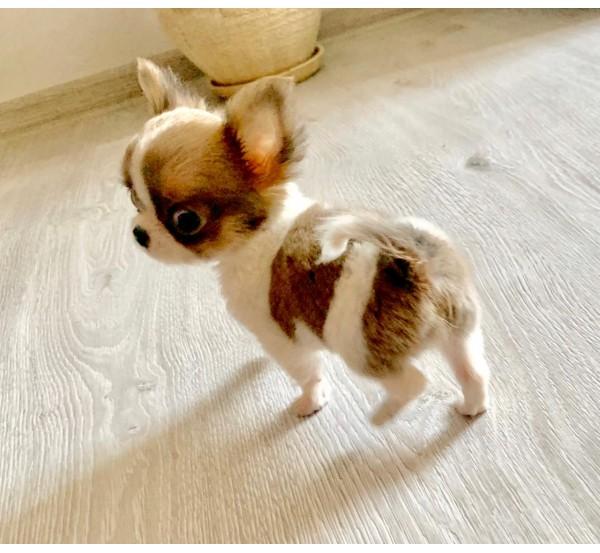 Mini Chihuahua 9