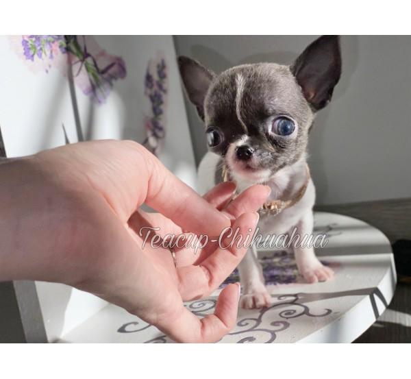 Mini Chihuahua 13